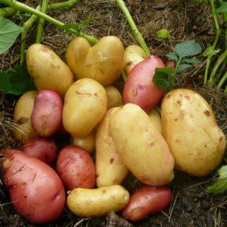 Nové brambory