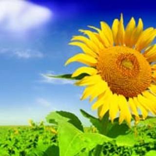 Šťastná slunečnice v poli