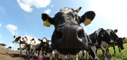 Šťastné a veselé krávy - titulka