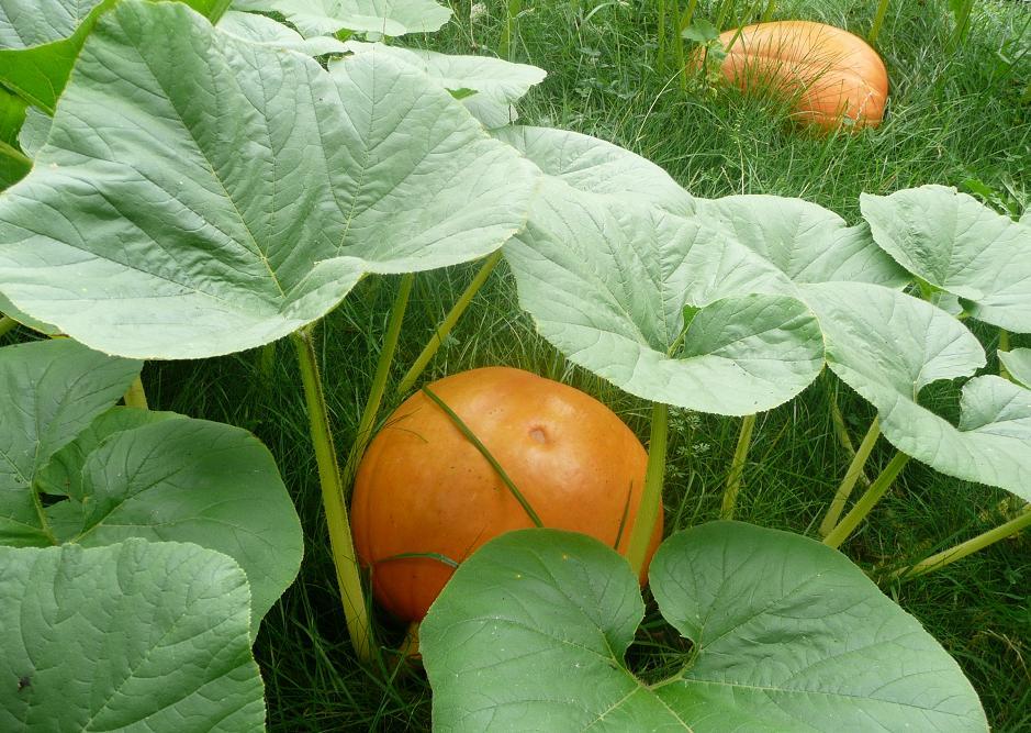 Dýně pěstování