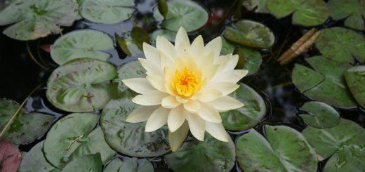 lotus leknín