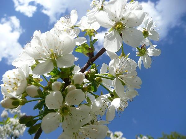 Květ bílý