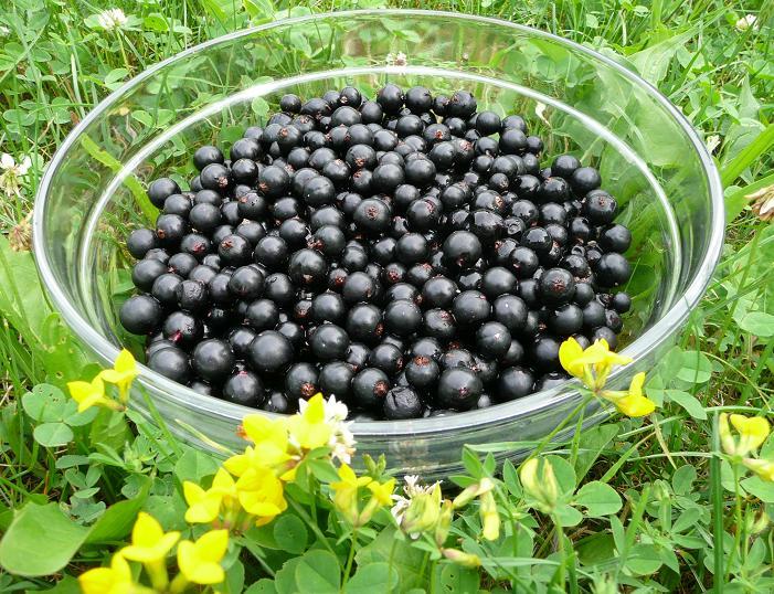 Rybíz černý maxi odrůda