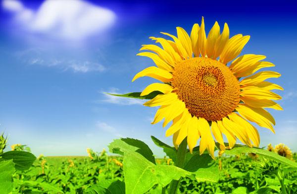 Šťastná slunečnice