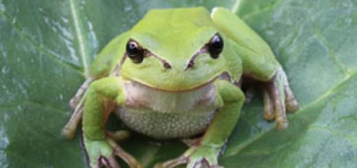 Žába rosnička