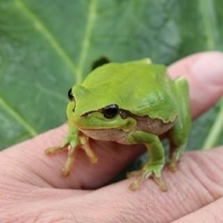 Šťastná žába rosnička