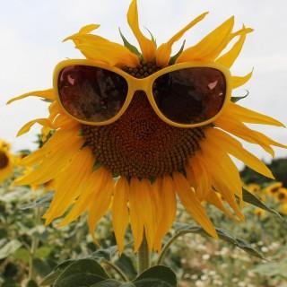Vysmátá slunečnice