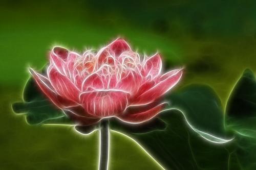 lotus-523688_1280